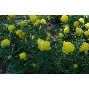 Trollius 'Lemon Queen' citrgeel