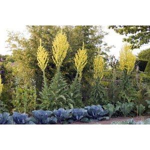 Verbascum olympicum geel