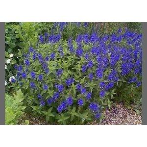 Veronica aus. 'Shirley Blue'blauw