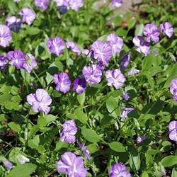 Viola (C) 'Columbine' wit+paarsblau