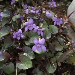 Viola labradorica lviolet