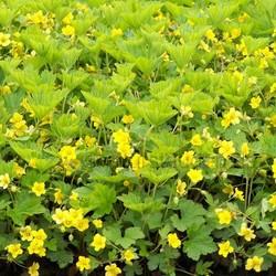 Waldsteinia geoides geel