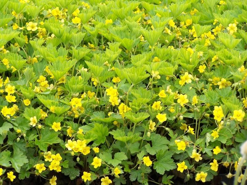 Waldsteinia geoides geel kopen bij tuincentrum for Vaste zoldertrap incl plaatsen en inmeten