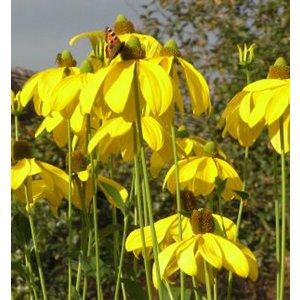 Rudbeckia nit. 'Herbstsonne' goud
