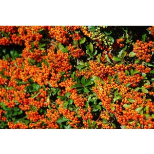 Pyracantha Orange Charmer OUTLET