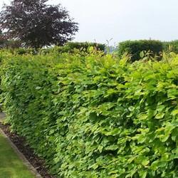 Haagbeuk Groen (Wortelgoed)