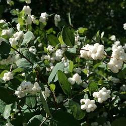 Sneeuwbes Symphoricarpos White Hedge
