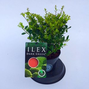 Ilex Dark Green Haag