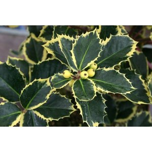 Ilex Rubricaulis Aurea