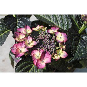 Hydrangea macr. Dark Angel Purple