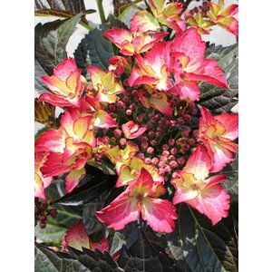 Hydrangea macr. Dark Angel Red