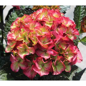 Hydrangea macr. Red Angel®