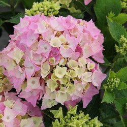 Hydrangea macr. Pink Lollipop®