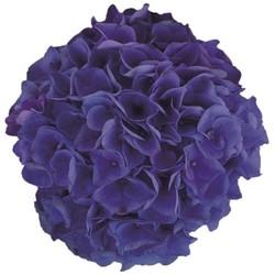 Hydrangea macr. Blue Ballad®