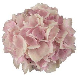 Hydrangea macr. Soft Pink Salsa®