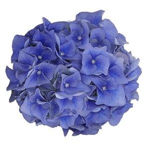 Hydrangea macr. Blue Boogiewoogie®
