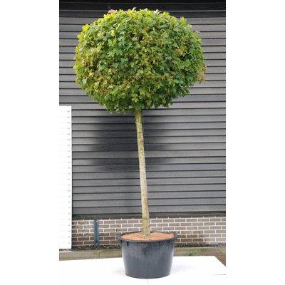 Acer plat. Globosum
