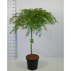 Acer Palmatum Dissectum op stam