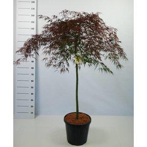 Acer Palmatum Garnet op stam
