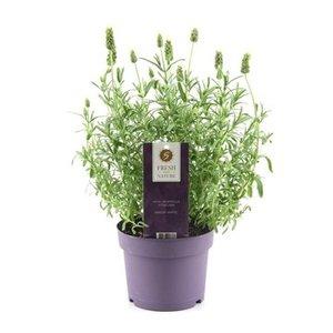 Lavendel angustifolia 'Alba'