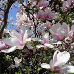 Magnolia soul.Superba