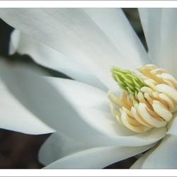 Magnolia stellata 'Waterlily' (Stermagnolia)