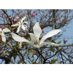 Magnolia kobus (Beverboom)