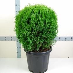 Thuja occidentalis 'Little Giant'