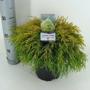 Chamaecyparis p. 'Filifera Aurea'