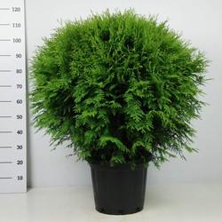 Chamaecyparis Lawsoniana 'Globosa'