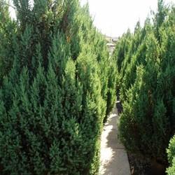 Juniperus Chinensis Blaauw (Jeneverbes)