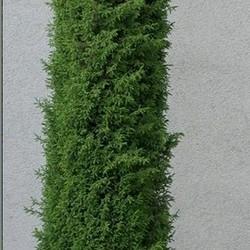 Juniperus comm. 'Sentinel'