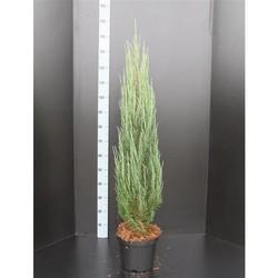 Juniperus communis Pyramidalis