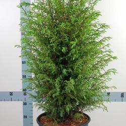 Juniperus communis 'Norrback'