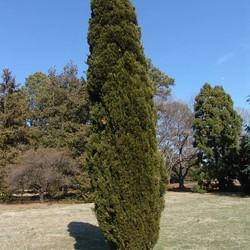 Juniperus chin. 'Spartan'