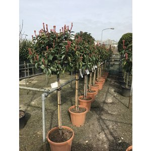 Photinia Red Robin op stam