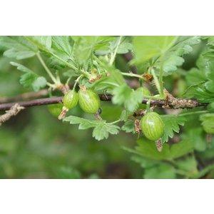 Ribes uva-crispa 'Hinnonmäki Grön' (Kruisbes)