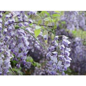 Wisteria floribunda 'Eranthema'