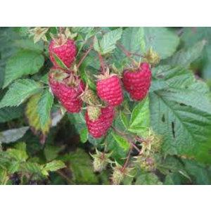 Rubus idaeus 'Malling Promise' (Framboos)