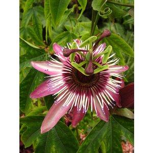 Passiflora Victoria