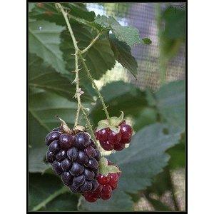 Rubus 'Boysenberry (Braam)