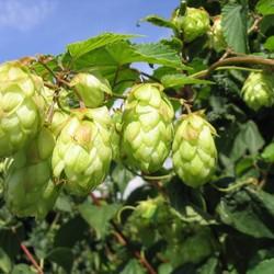 Humulus Lupulus Nordbrau (Hop)