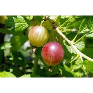 Ribes uva-crispa 'Captivator' (Kruisbes)