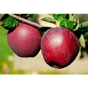 Appel Domestica ´Spartan´