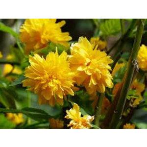 Kerria japonica 'Pleniflora'