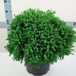 Picea Glauca Echiniformis