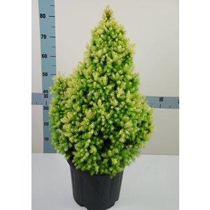 Picea Glauca 'J.W. Daisy's White' Dwergspar
