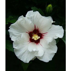 Hibiscus Syriacus 40 cm