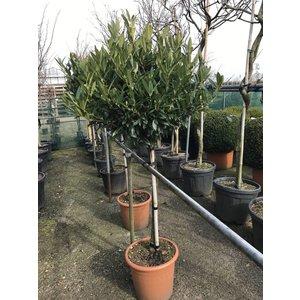 Prunus Otto Luyken op stam