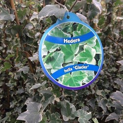 Hedera helix 'Glacier'